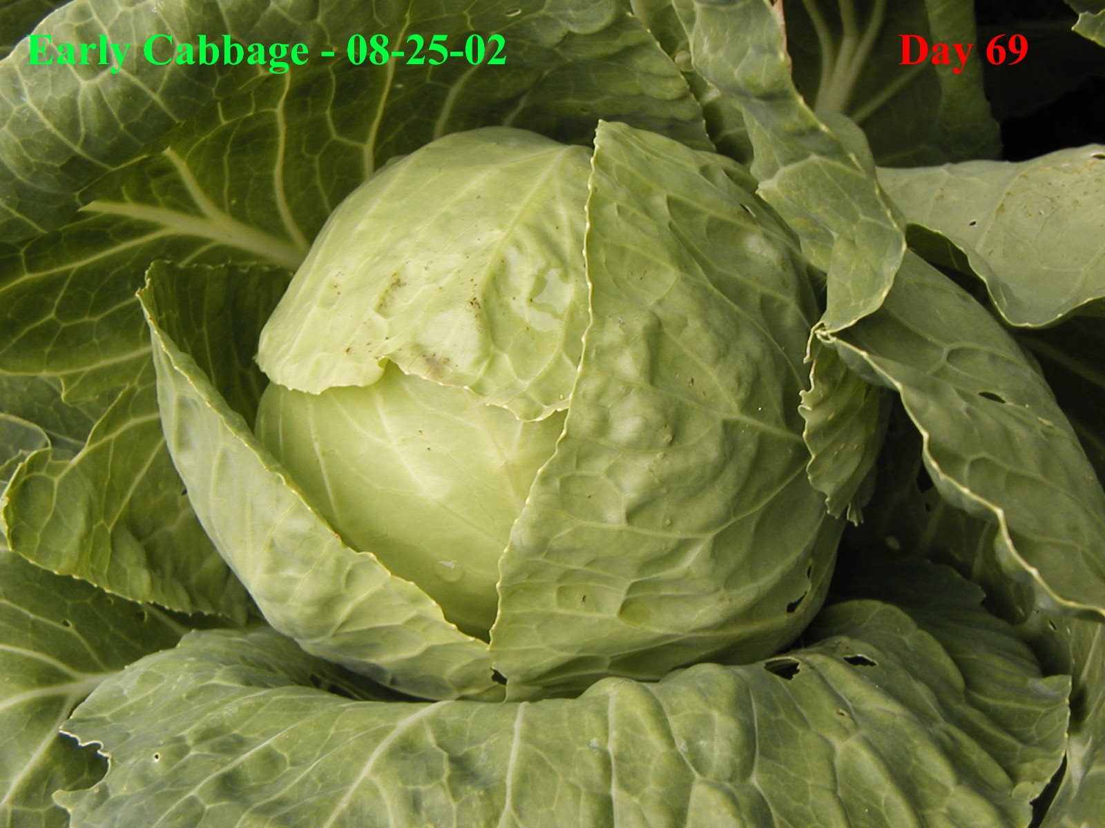 Images of Cabbage Plant Early Cabbage Plant at Day 69